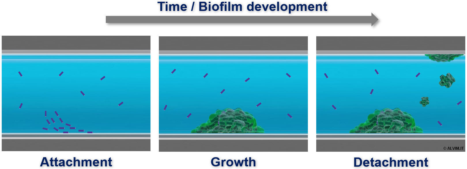Formation and development of biofilm with time